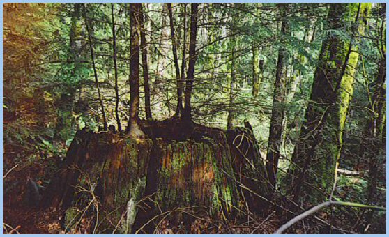 Old Growth Coniferous Stump