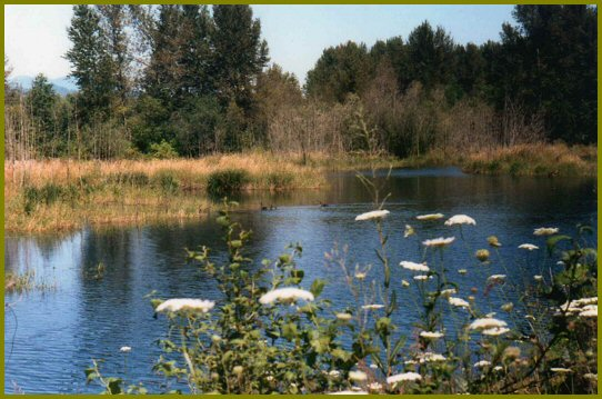 White Yarrow Flowers Edge a Vedder River Duckpond